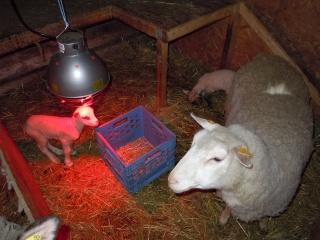 première agnelage ( photos des agneaux ) Dscn0511