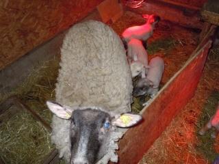 première agnelage ( photos des agneaux ) Dscn0512