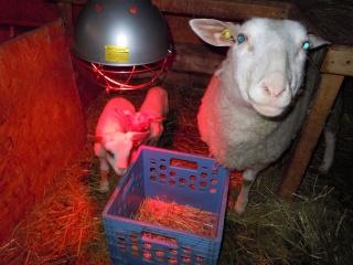 première agnelage ( photos des agneaux ) Dscn0513