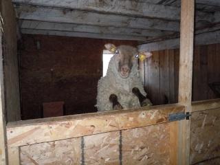 première agnelage ( photos des agneaux ) Dscn0514