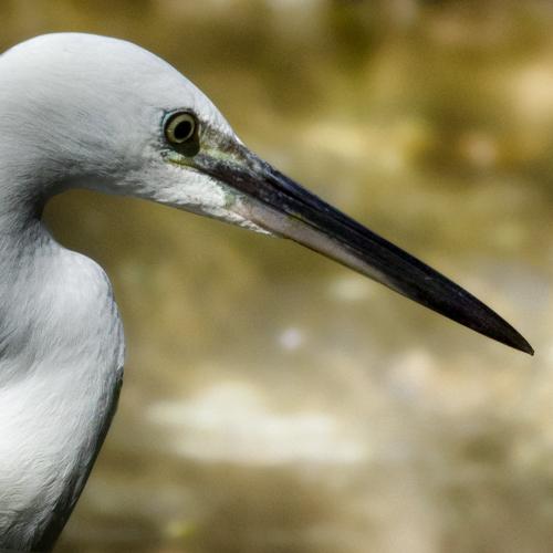 Sortie à la réserve ornithologique du Teich - 24 août 2018 - Page 2 Aigret10