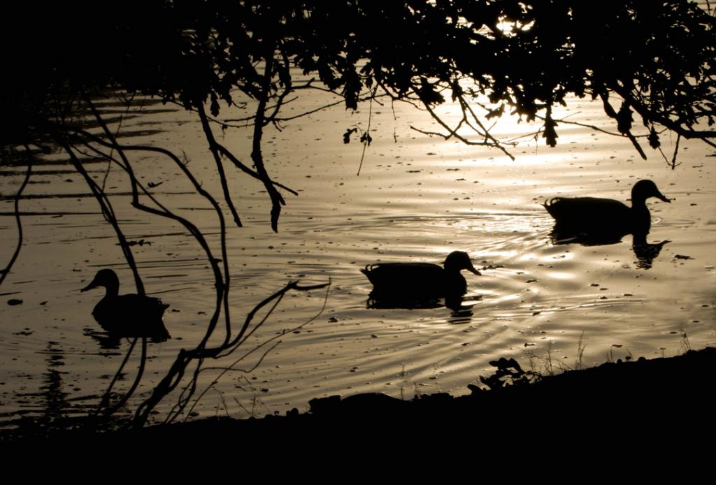 Sortie Réserve Ornithologique du Teich - 21 octobre 2018 Canard13