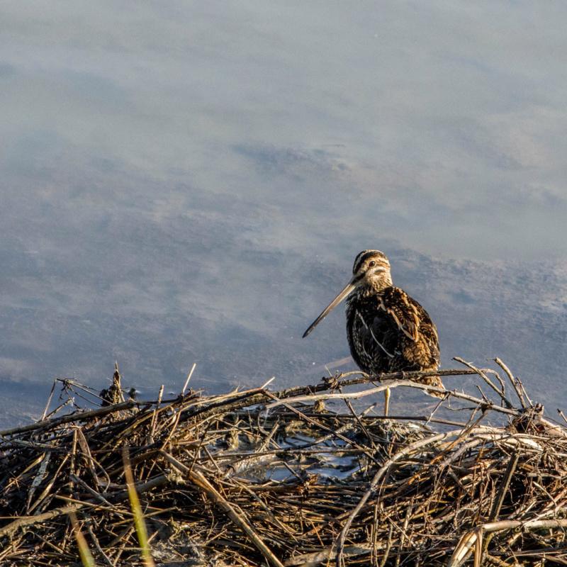 Sortie Réserve Ornithologique du Teich - 21 octobre 2018 Limico17