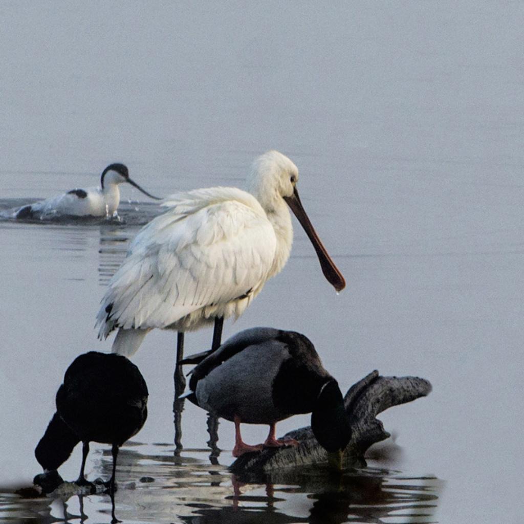 Sortie Réserve Ornithologique du Teich - 21 octobre 2018 Oiseau11
