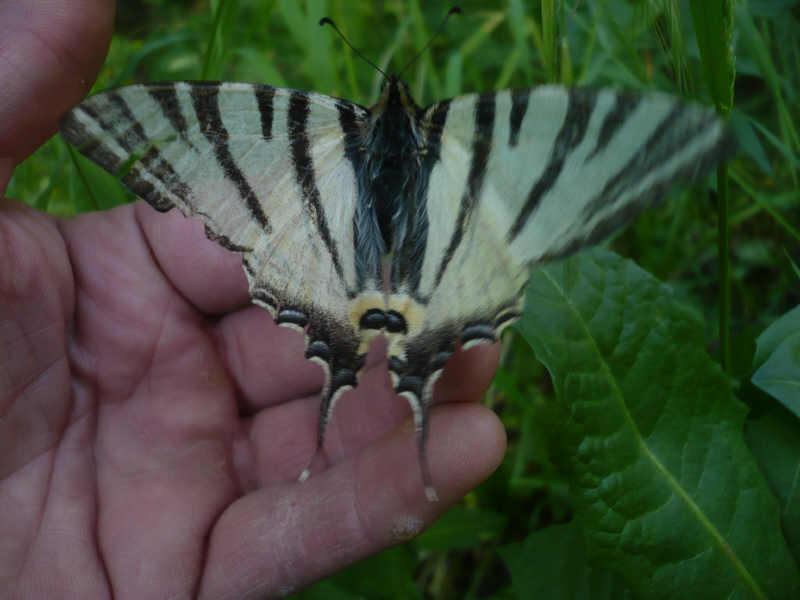 [Iphiclides podalirius]Je recherche le nom du papillon Pour_f12