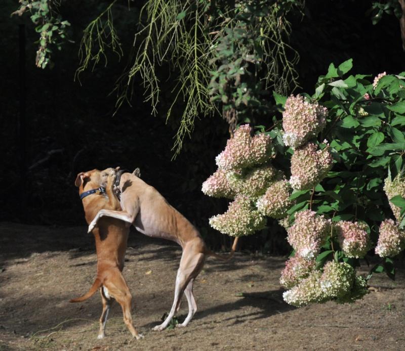2 chiens qui dansent... 2chien11