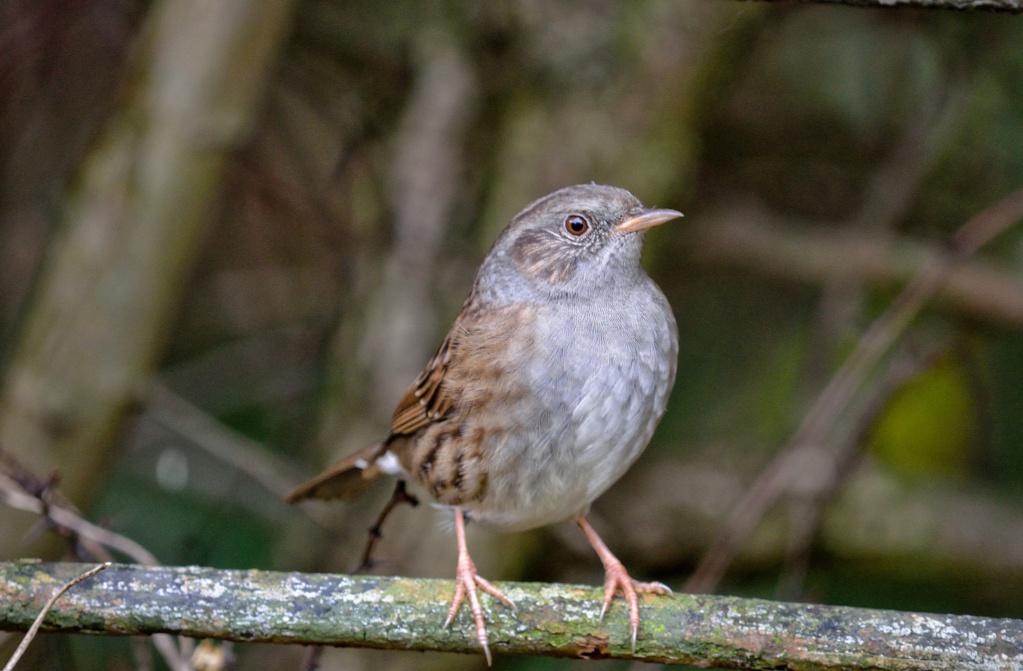 Bonjour, svp je veux savoir le nom de cet oiseau. Je l ai trouvé au jardin et je ne sais pas si je dois le garder ou pas. Peur qu il mort. Wil_2710