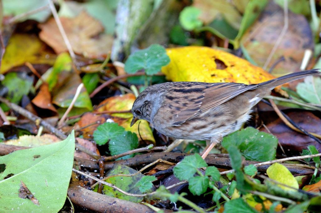 Bonjour, svp je veux savoir le nom de cet oiseau. Je l ai trouvé au jardin et je ne sais pas si je dois le garder ou pas. Peur qu il mort. Wil_4010
