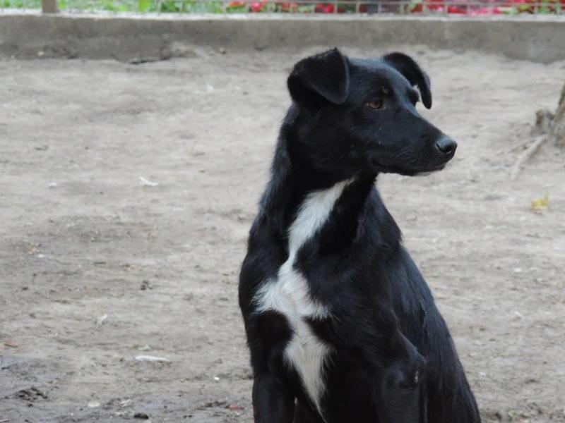 MAMBO, mâle croisé berger né mi Juin 2016 - SAUVE ÉQUARRISSAGE DE PALLADY - PARRAINE CORINA59 -R-SOS-SC 63_mam10