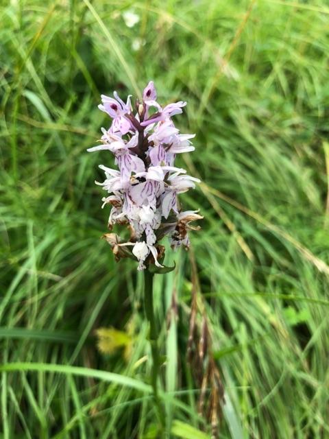 Fuchsii ou maculata ? Dactyl22