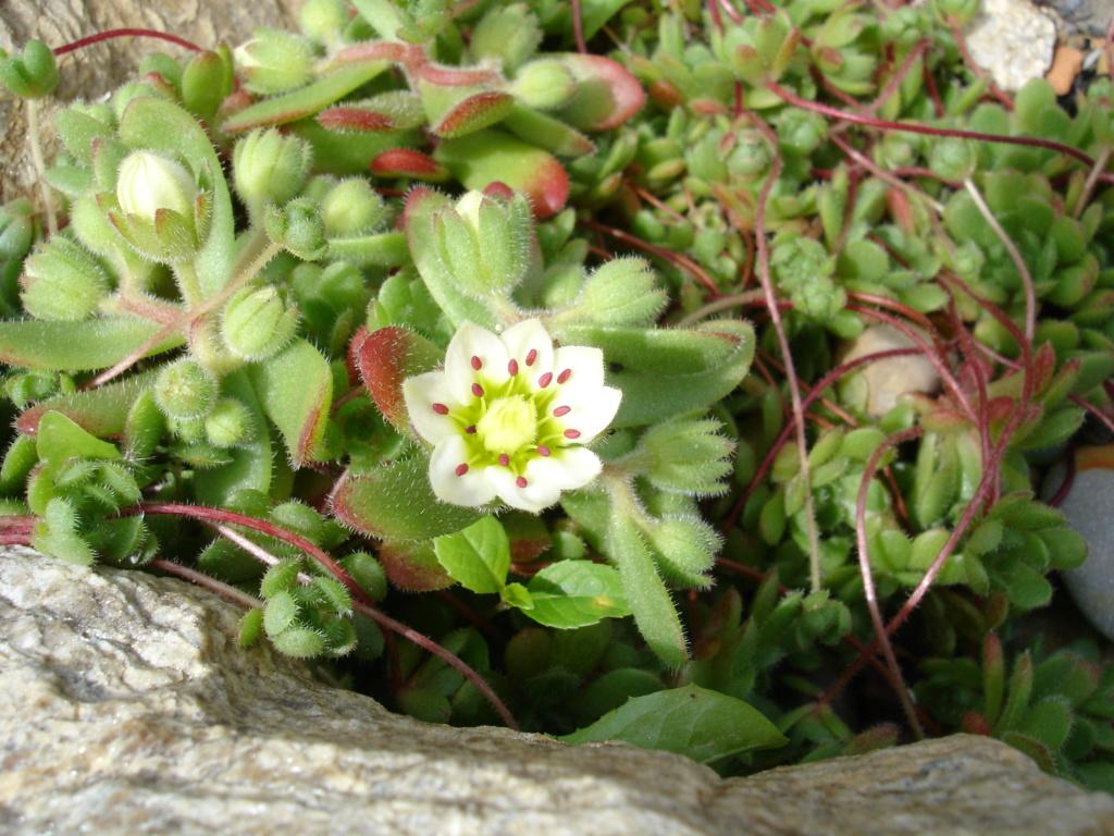 Rosularia sedoides Dsc03412