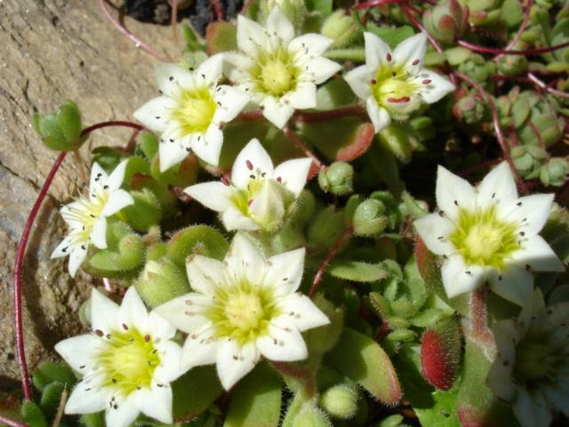 Rosularia sedoides Dsc03413