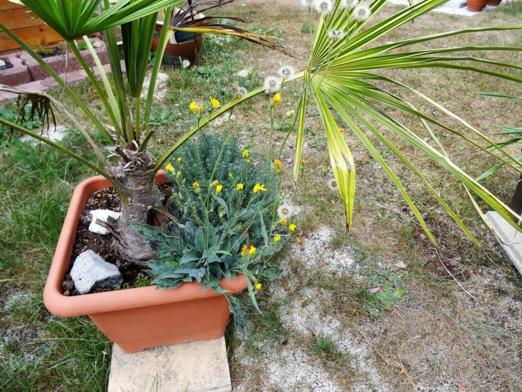Wie heißt diese Pflanze? - Geflecktes Habichtskraut (Hieracium maculatum) Dsc04520