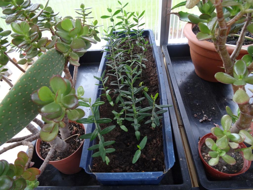 Kreuzblättrige Wolfsmilch ( Euphorbia lathyris ) Dsc06014