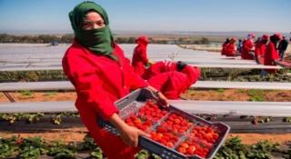 شركة و ضيعة فلاحية بالاسبانيا تشغيل 28 عاملات الموسميات بإسبانيا لجني الفراولة Ao_i_o11