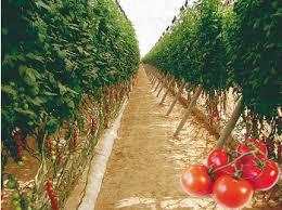 وحدات فلاحية لانتاج الطماطم توظيف 100 عامل و عاملة فلاحية بكلميم و الداخلة و 10 مناصب بوادي الداهب بأجر 80 درهم لليوم و امتيازات اجتماعية و تغطية صحية Marais10