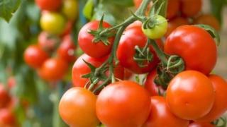 شركة ماريسا تعمل في الميدان الفلاحي تبحث عن 72 عامل فلاحي للعمل بضيعات لإنتاج الطماطم بالداخلة Ste_ma10