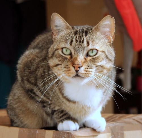 Minou chat tigré et blanc 4 ans FIV+ ass Charly's Angels  A19d7b10
