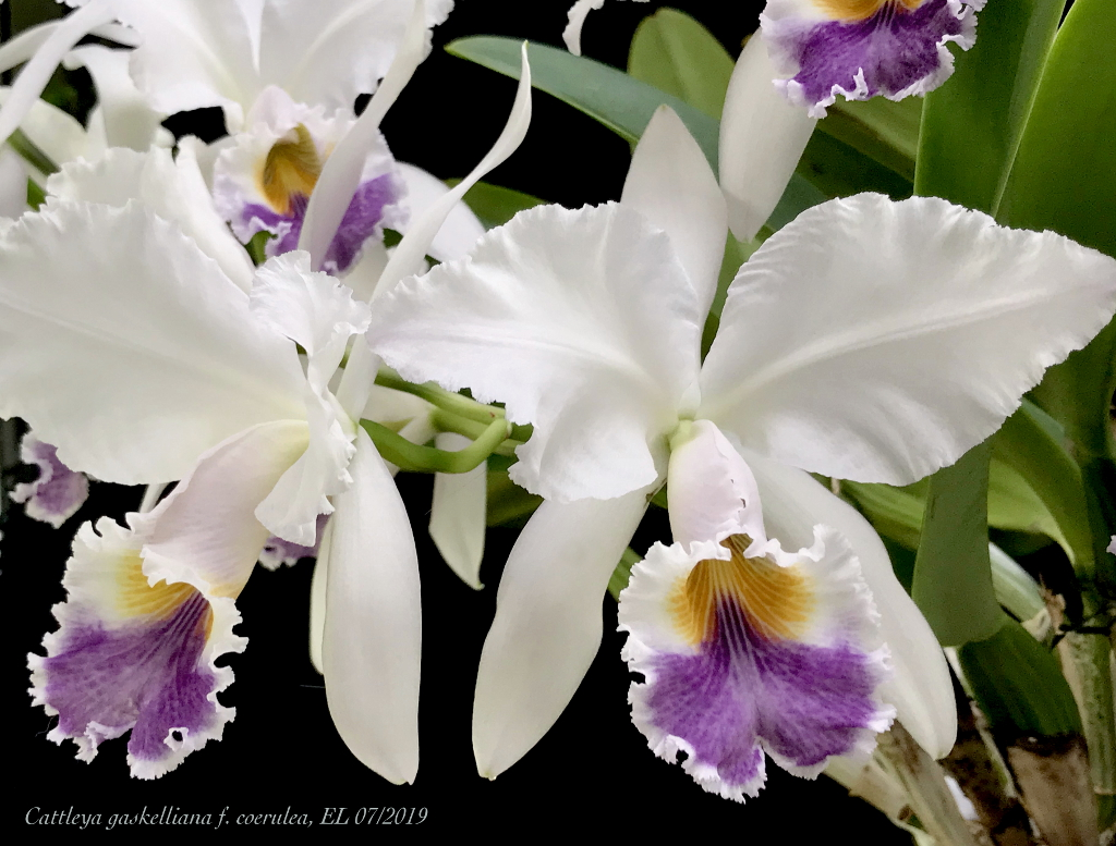 Cattleya gaskelliana f. coerulea Cat_ga11