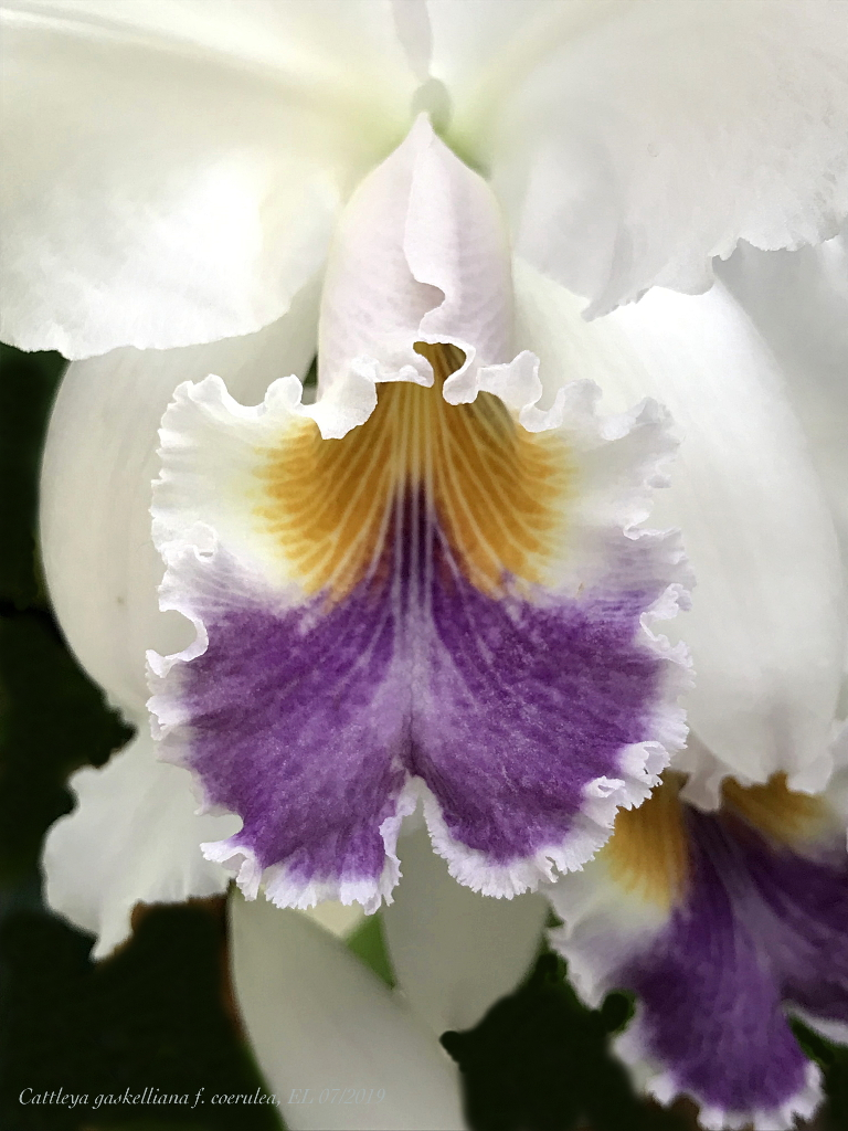 Cattleya gaskelliana f. coerulea Cat_ga12