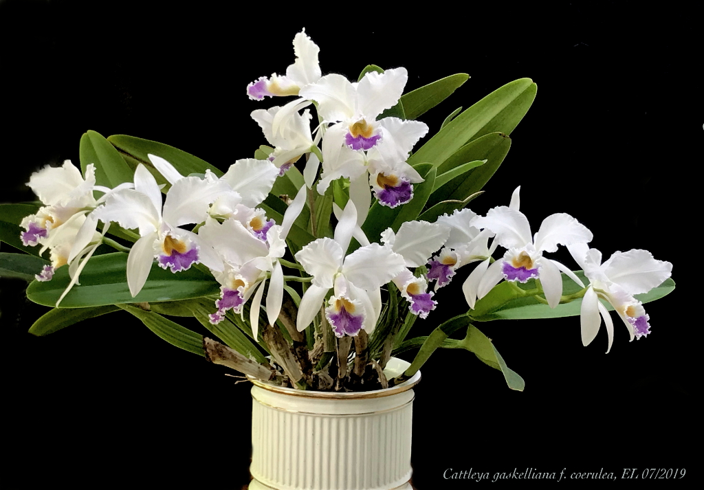Cattleya gaskelliana f. coerulea Cat_ga13