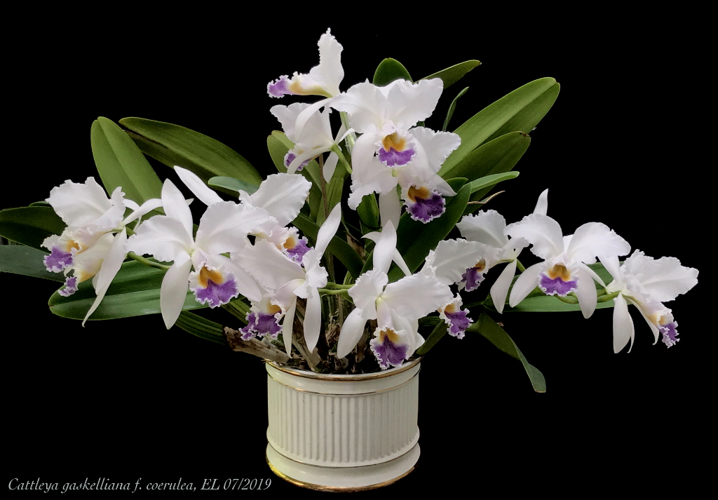 Cattleya gaskelliana f. coerulea Cat_ga14