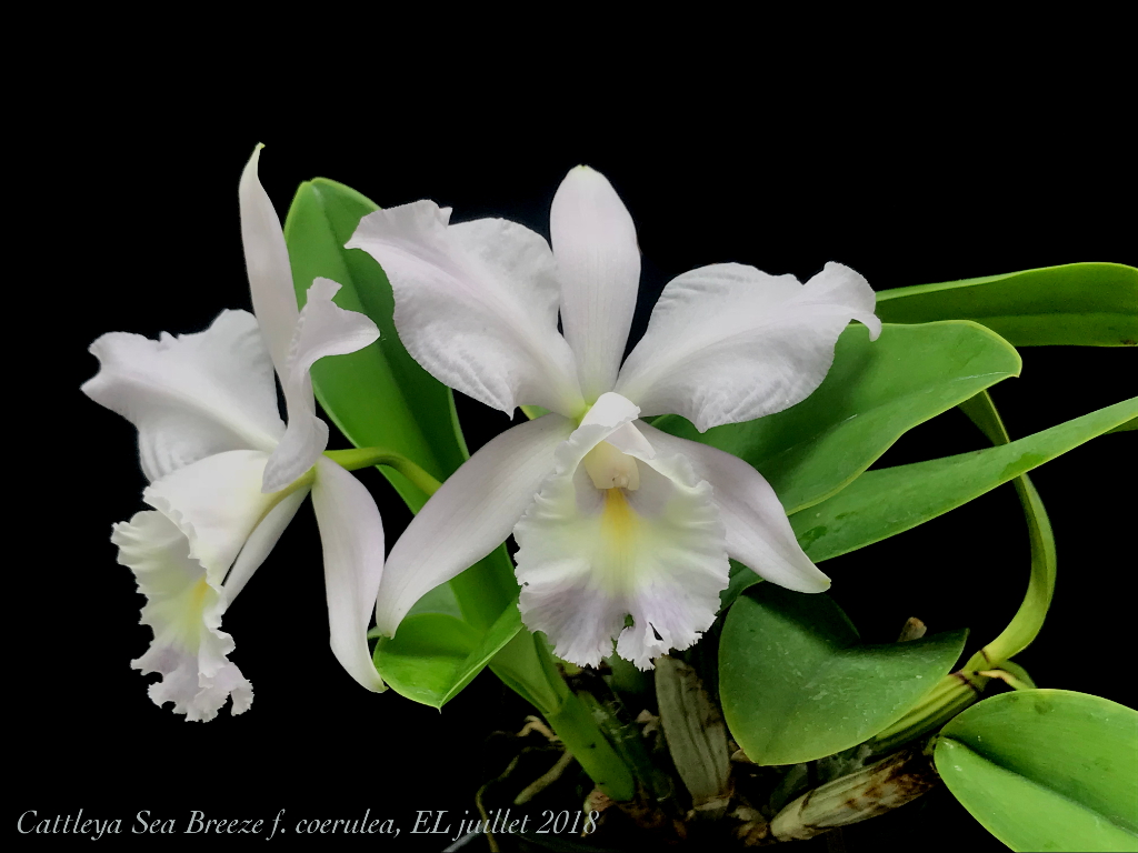 Cattleya Sea Breeze f. coerulea (warneri x walkeriana) Cattle10