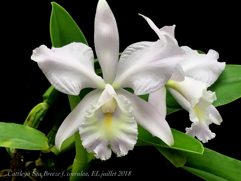 Cattleya Sea Breeze f. coerulea (warneri x walkeriana) Cattle11