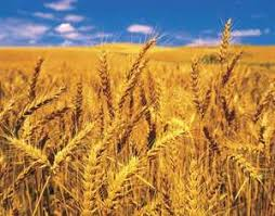Offer Uzbekistan .Kazak  Wheat   , Barley , wheat flour  Hard wheats  Downlo12