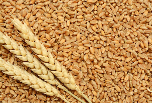 Offer Uzbekistan .Kazak  Wheat   , Barley , wheat flour  Hard wheats  Wheat-10