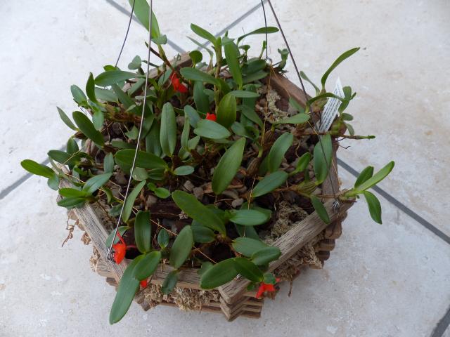 Maxillaria sophronitis  0117