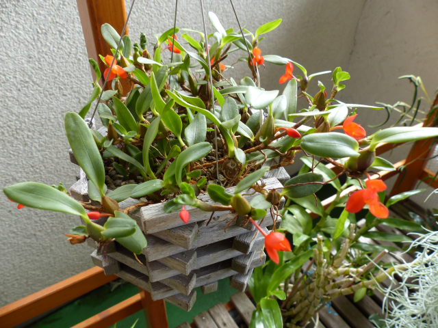 Maxillaria sophronitis  0216