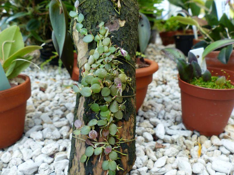 Barbosella orbicularis 0515
