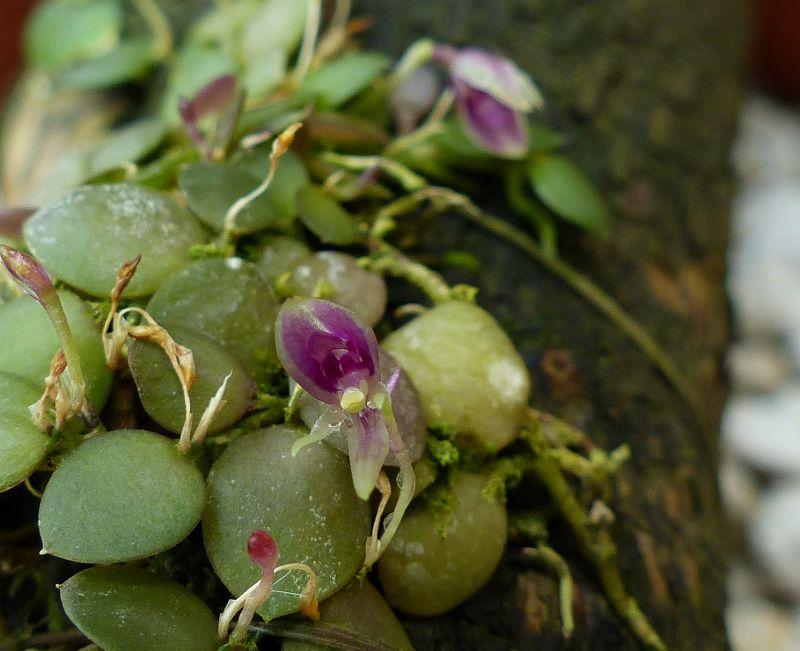 Barbosella orbicularis 0619