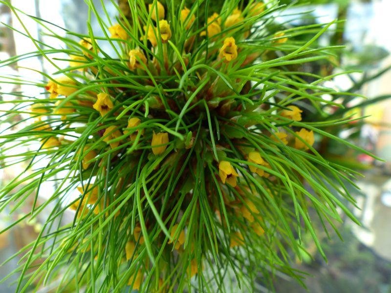 Maxillaria vitelliniflora Maxill10