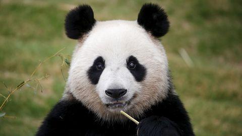 Belles images d'animaux Panda-10