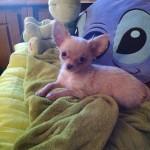 Le chihuahua  Photo-10