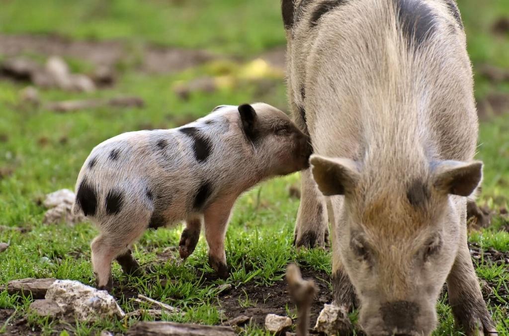 Belles images d'animaux Piglet10