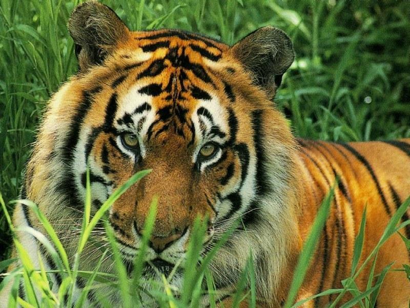 Belles images d'animaux Tigre10