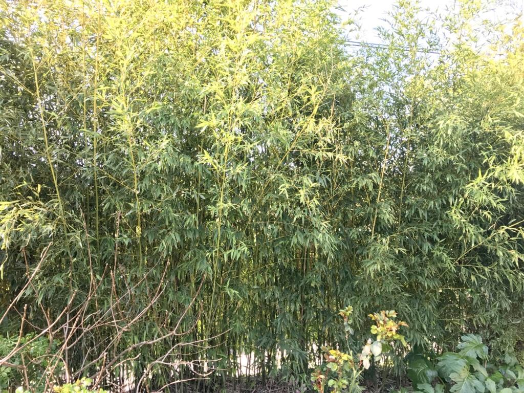 la haie de bambou et autres. Sujet divisé - Page 2 Img_3016