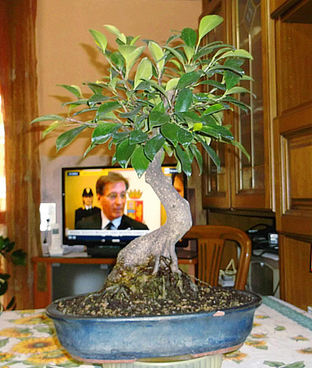 Ficus (formosana?) in fuga 1_genn10