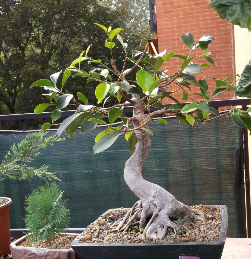 Ficus (formosana?) in fuga 5_lugl10