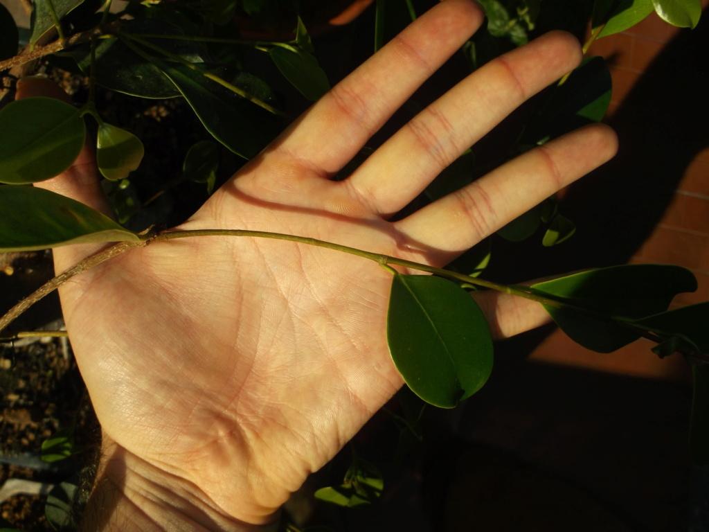 Ficus (formosana?) in fuga Dscf1810