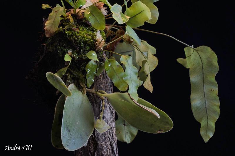 Miniatur-Orchideen Teil 6 - Seite 15 0351e810