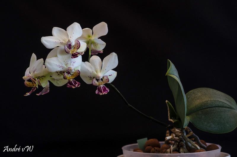 Phalaenopsis finleyi x stuartiana f. punctatissima 11583a10
