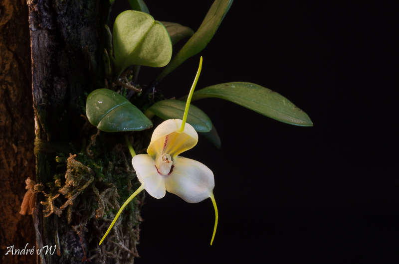 Masdevallia xanthina ssp pallida  22004810