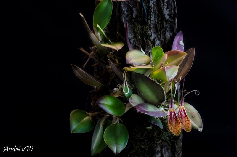 Miniatur-Orchideen Teil 5 - Seite 3 2c43e210