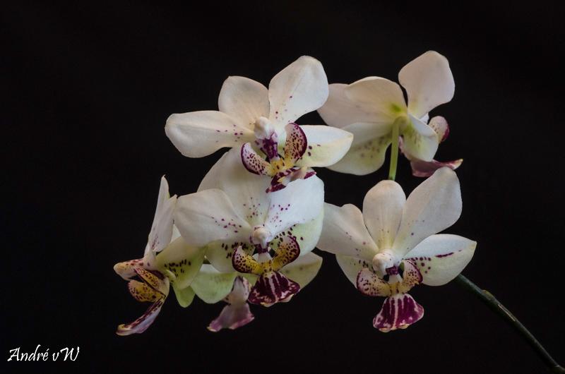 Phalaenopsis finleyi x stuartiana f. punctatissima 429fa910
