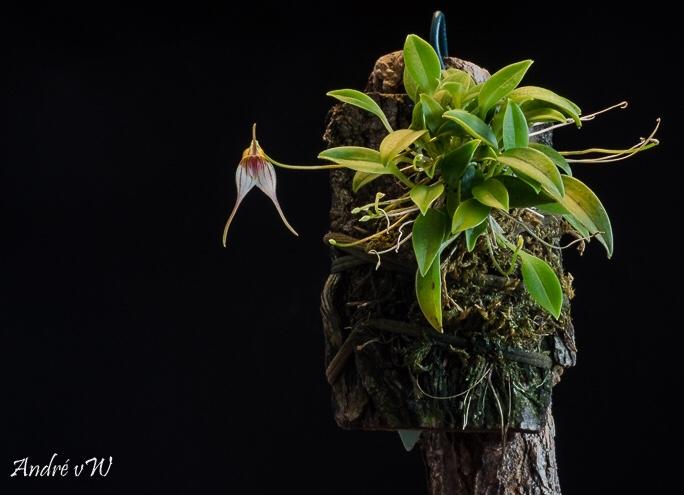 Miniatur-Orchideen Teil 5 - Seite 3 4483a510