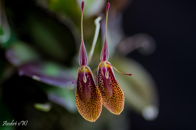 Miniatur-Orchideen Teil 5 - Seite 3 4d353010